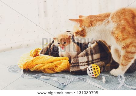 Ginger cat and kitten. Mother cat comes to take kitten to the safe place. Animals, Mom and child, maternity, care.