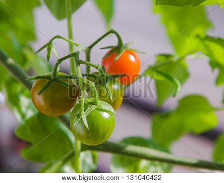 Cherry tomatoes in different colors and stages of growth growing on a vine. Sunny day. Selective focus. Horizontal.
