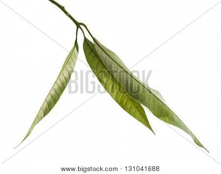 Small bunch of Indian mango leaves on white background..