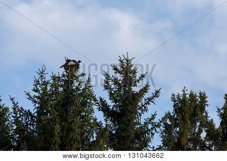 A Wild Turkey is perched atop a tall fir tree.