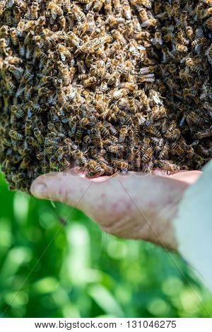Close view on the beemaster checking the swarm of bees