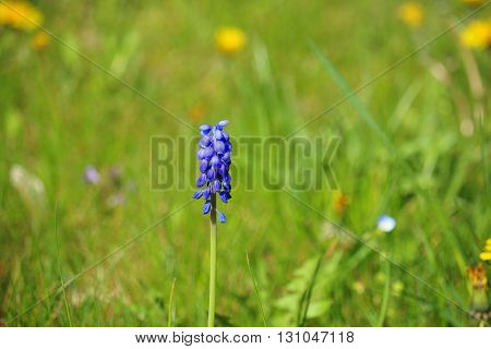 Focused isolated Muscari armeniacum also known as grape hyacinth Armenian grape hyacinth or Garden Grape-hyacinth; perennial bulbous plant on defocused garden grass background