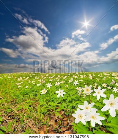 landscape with white anemone flowers under blue sky
