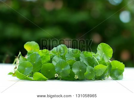close up the green Water Pennywort plant