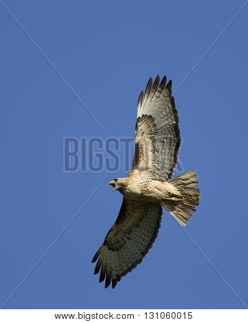 Red-tailed hawk in the sky. A pretty red-tailed hawk soars in the bright blue sky.