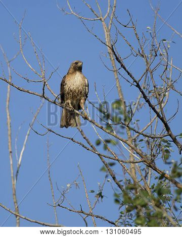 Alert hawk on branch. A majestic red-tailed hawk is perched on a tree on a clear day.