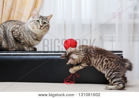 Kuril Bobtail cats. Mum cat and kitten. Ball of yarn. Thoroughbred cat. Cute and funny kitten. Pet.