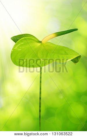 Green Anthurium flower on green natural background