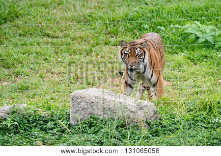 Bengal Tiger Walking Near Electrical Wire