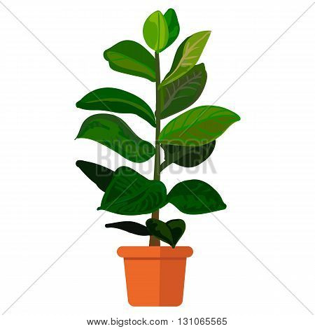 Vector illustration plant in pot. Rubber plant in pot