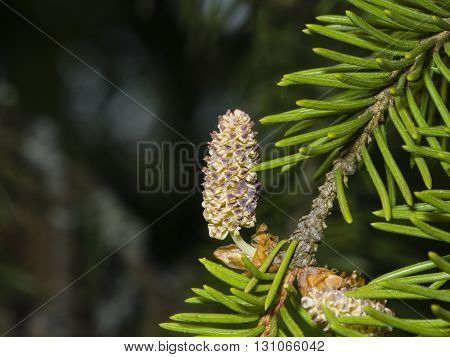 Pollen strobili and needles on norway spruce tree branch with bokeh background macro selective focus shallow DOF
