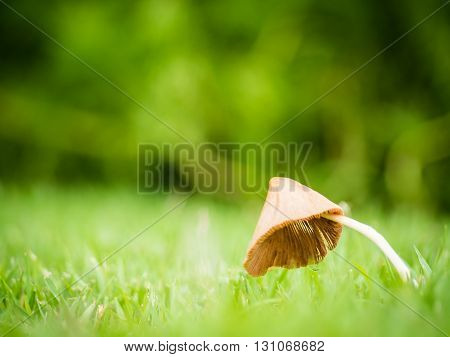 Close up of little mushroom look like umbrella with dew in garden on the sunlight morning Shallow depth of field Copy Space Side View