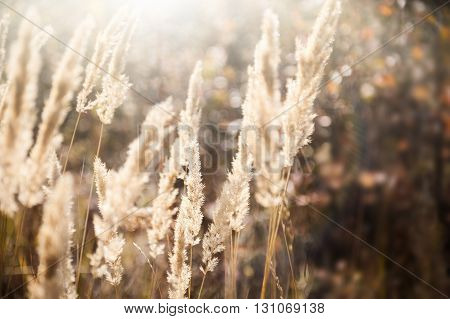 Wild Grasses In A Field At Sunset