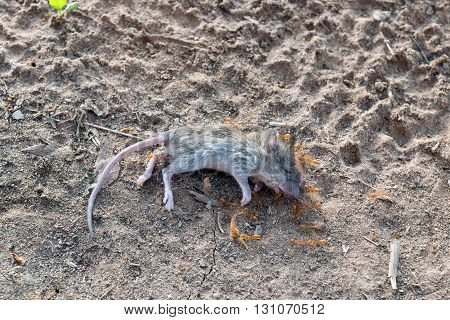 A swarm of ants was eating the corpses of a dead rat on the ground.