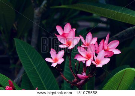Pink Frangipani Tropical Flower, Plumeria Flower Fresh Blooming On Tree