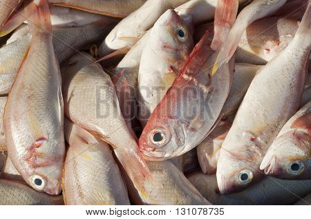 Fresh Sharptooth snappers fish. Damage from shipping.