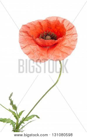 beautiful single red poppy isolated on white