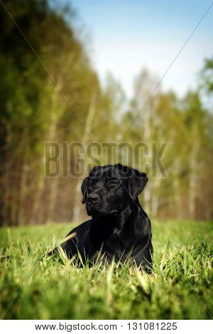 the dog is a purebred black Labrador Retriever lying in bright green grass