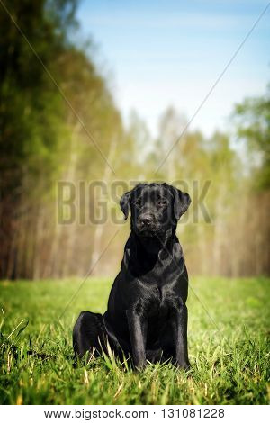 Serious black Labrador puppy sitting on the grass in the summer