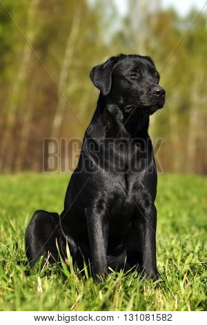 Serious black Labrador sitting on the grass in the summer