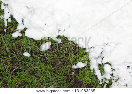 Young green grass and the pure white snow (background)