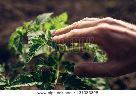 Farmer controlling growth of tomato plants in vegetable garden homegrown organic food production selective focus
