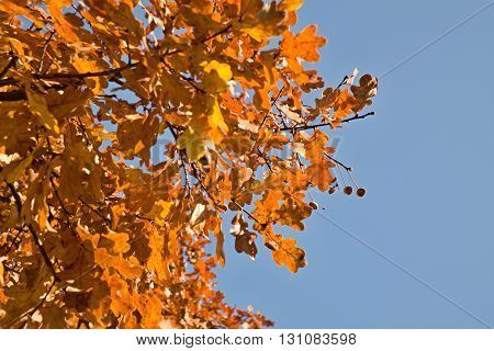 Red And Orange Oak  Leaves With Blue Sky Background