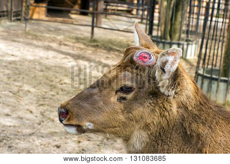 Sika deer brown without horns (dropped antlers) and sad eyes (Latin: Cervus nippon; class mammals; order artiodactyls; family deer)