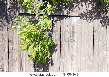 Old wooden fence grey color. Through a hole in the fence sprouted a branch of a tree with green young leaves. Through the large cracks visible greens.