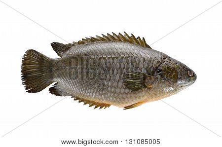 common climbing perch fish or Koi fish on white background