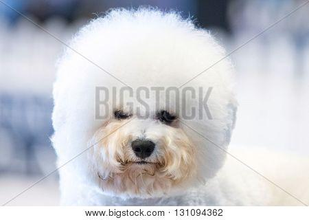 Funky Poodle White Dog Portrait Looking At You