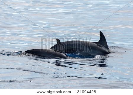 Common Dolphin Fin Detail While Swimming Down