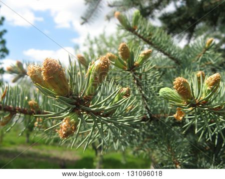Spruce branches on a green background and blue sky
