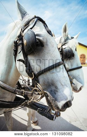 Beautiful White Horse and cart ride closeup picture