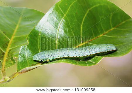 Great Orange Tip Caterpillar