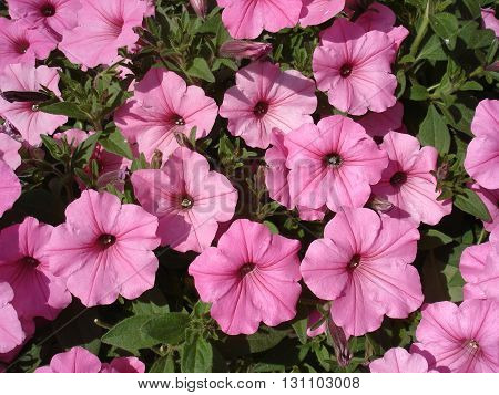 Petunia pink large flowering plants cover .