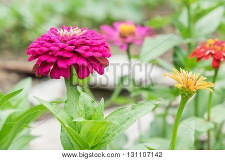 beautiful blooming Zinnia classic  flowers in the garden