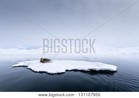 Seal having a rest on an iceberg, Svalbard, Arctic