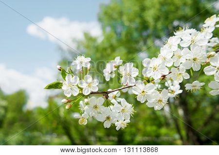 Natural spring background with cherry flowers. Selective soft focus.