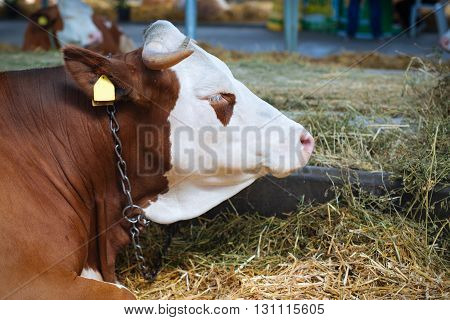 Beautiful red Cow in a stable closeup picture