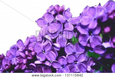 Closeup of blooming lilac flowers isolated on white background. Floral background with free space for text. Selective focus at the central flowers