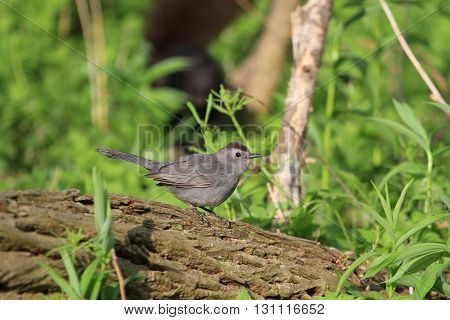 Gray Catbird perched on dead log in early morning sun