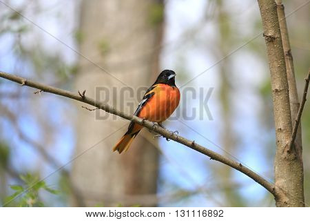 Northern Oriole male perched on branch in early morning sun
