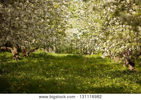 Blooming apple trees in a spring orchard