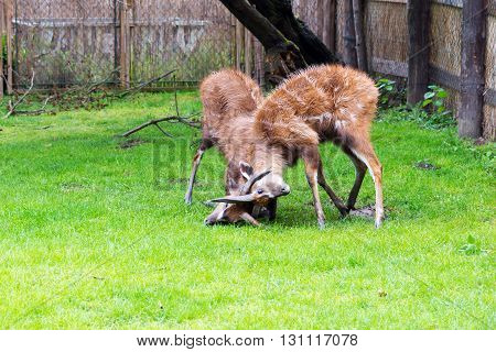 a fight between two male antelope Sitatunga