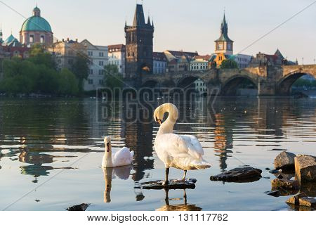 swans on the river in early morning old town of Prague