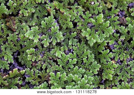 Macro photo of water ferns of the genus Azolla sp.
