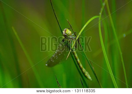This is a siberian dragonfly. It is green colour.