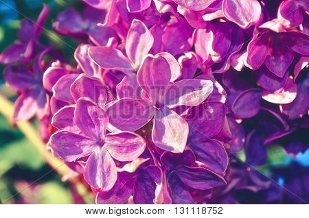 Blooming beautiful bright pink lilac flowers under sunlight. Selective focus at the central flowers soft focus and vintage filter processing