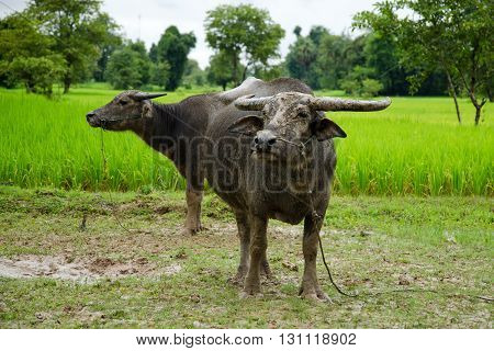 Two water buffalo in front of a rice field in Laos, on the Mekong island Don Det